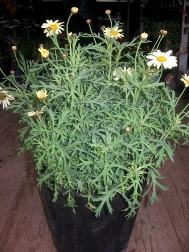 argyranthemum-giallo