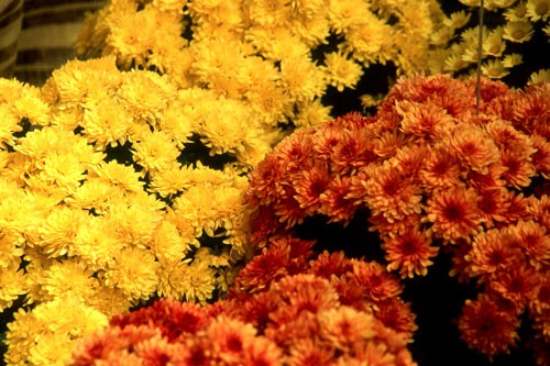 chrysanthemum-g
