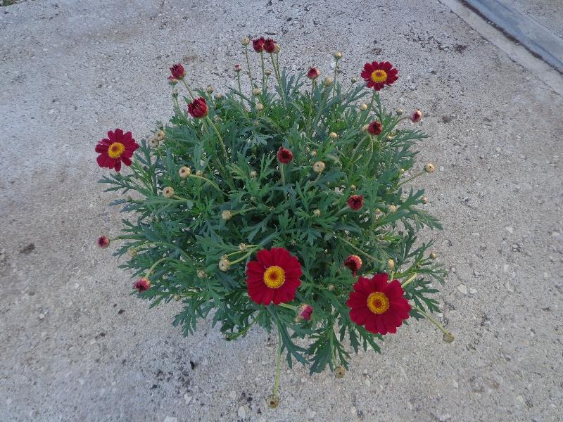 margherita-rossa
