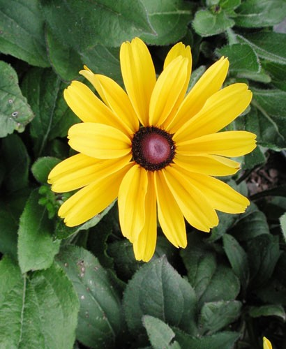 rudbeckia-hirta-indian-sum