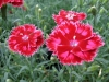 dianthus-strawberry-sorbet