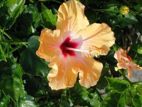 hibiscus-syriacus-g