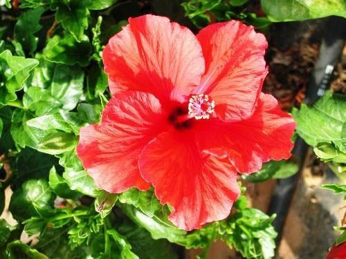 hibiscus-syriacus-r