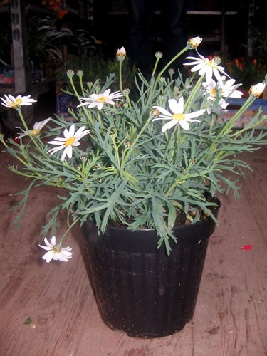 argyranthemum-bianco