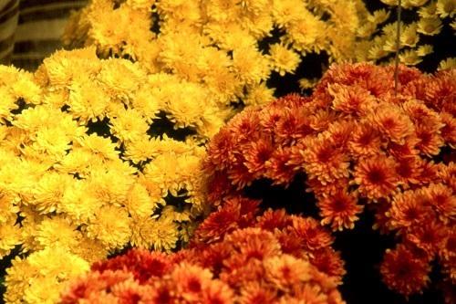 chrysanthemum-g