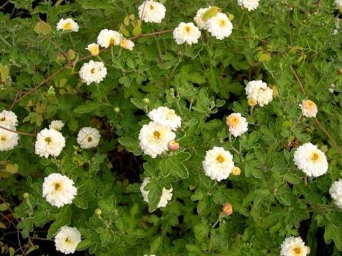 chrysanthemum-white-anastas