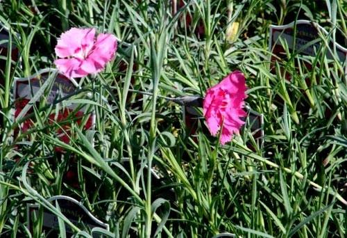 dianthus-cheddar-pink