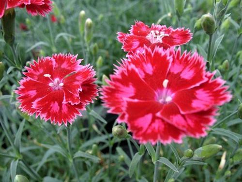 dianthus-strawberry-sorbet