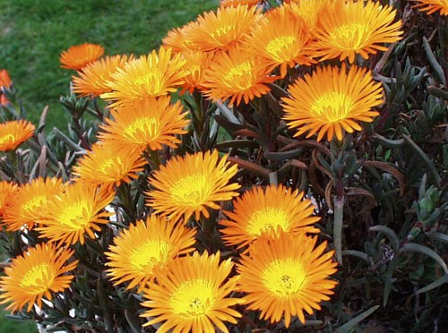 lampranthus-orange