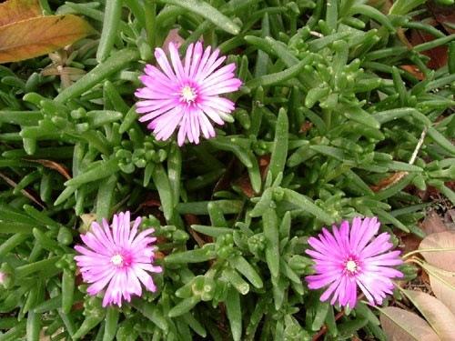 lampranthus-rosa