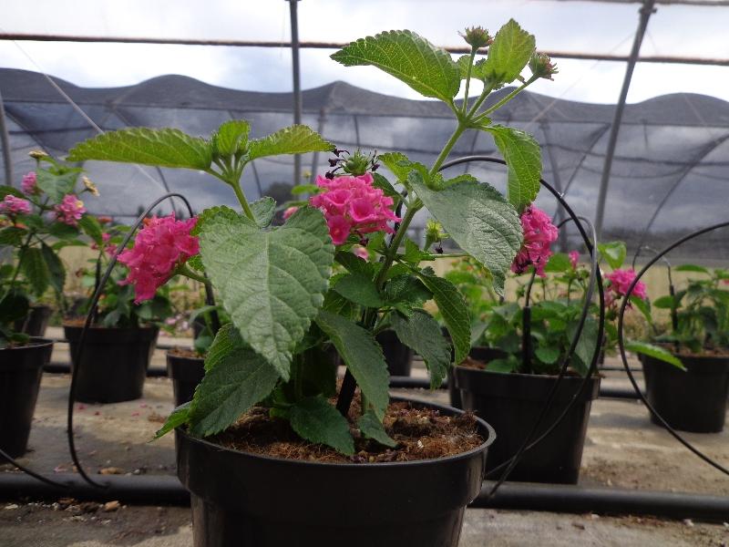 lantana-seelowiana-rosa