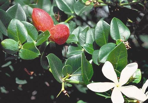 carissa-grandiflora