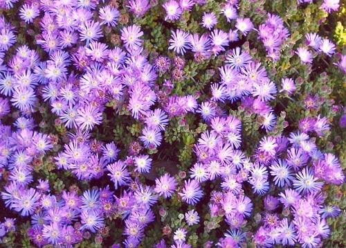 drosanthemum-floribundum-b