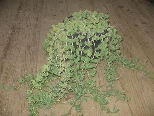 drosanthemum2