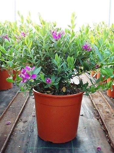 polygala-myrtifolia-18
